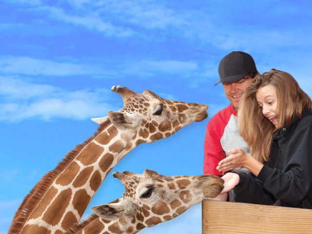 people feeding two giraffes