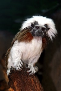 cotton tamarin