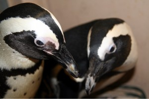 penguinpair