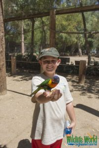 Lory Parrot 167